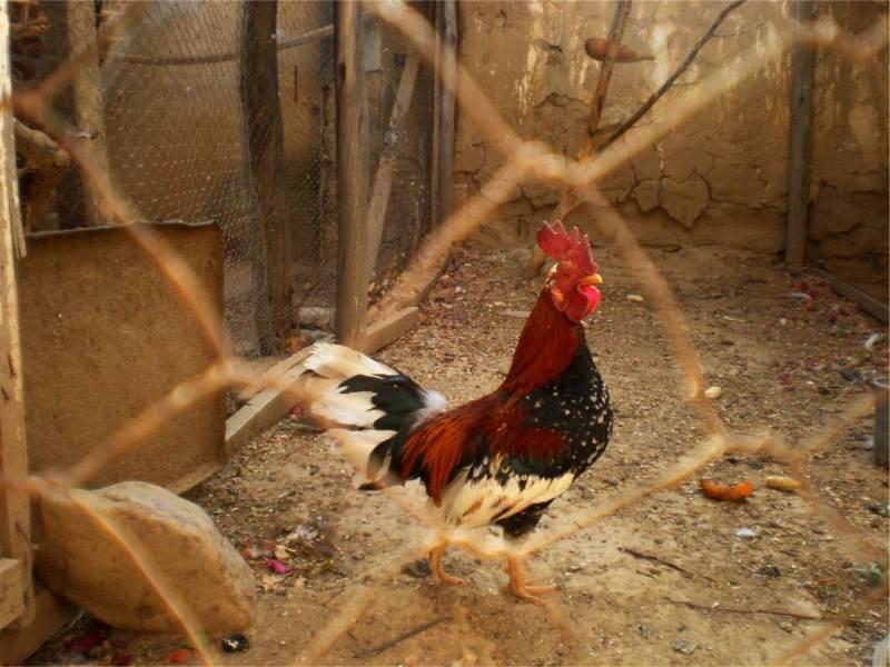 כפרות. תרנגול. |צילום: stocksnap.io